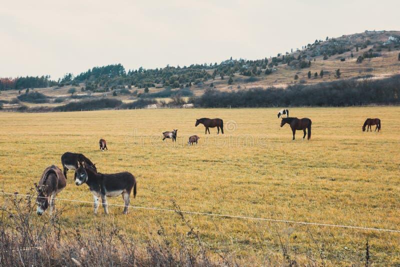 Τα άλογα και οι γάιδαροι βόσκουν στο λιβάδι στοκ εικόνα με δικαίωμα ελεύθερης χρήσης