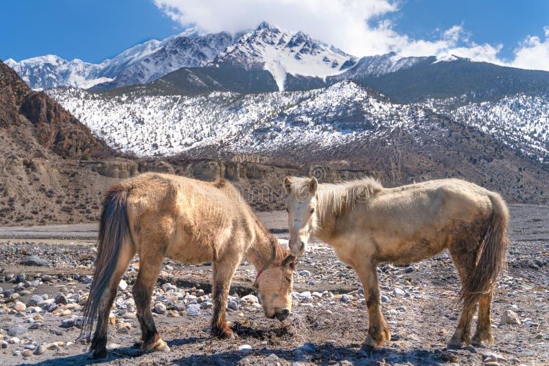 Τα άλογα nepali σε Annapurna σύρουν τη διαδρομή στοκ εικόνες