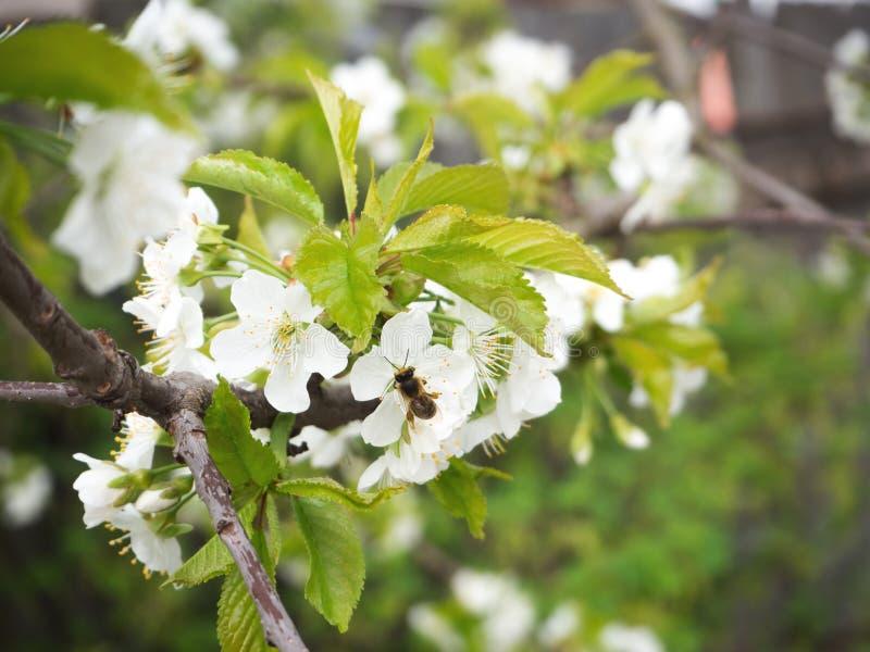 Τα άνθη κερασιών, μέλισσες επικονιάζουν στοκ φωτογραφία