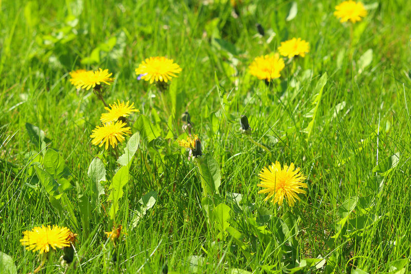 Τα άνθη Dandellion με ελαφρώς το υπόβαθρο με τα gras στοκ εικόνες με δικαίωμα ελεύθερης χρήσης
