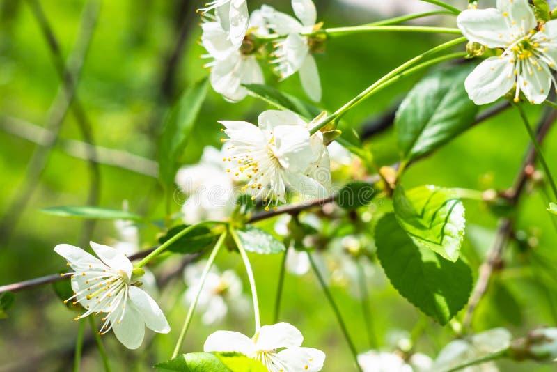 Τα άσπρα άνθη στους κλαδίσκους κλείνουν επάνω στον πράσινο οπωρώνα στοκ φωτογραφίες