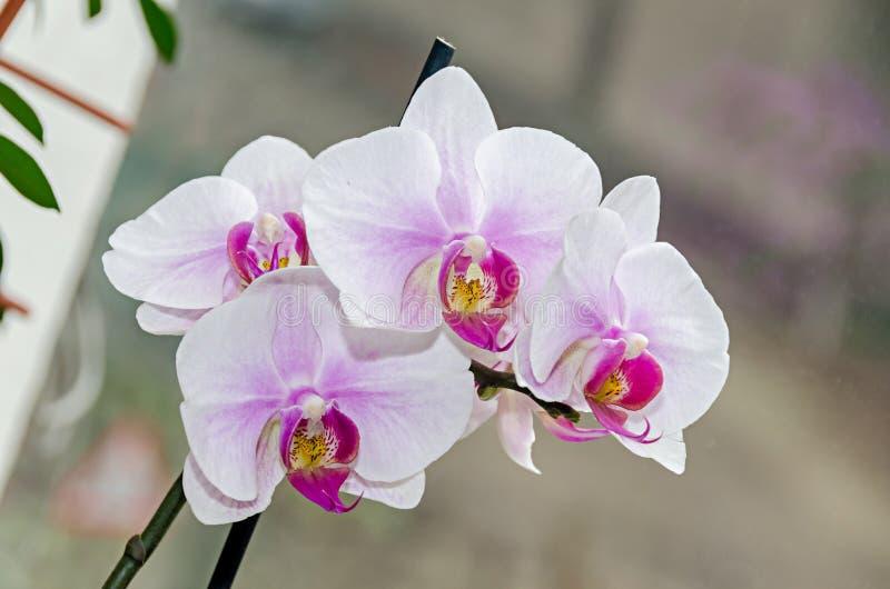 Τα άσπρα και μωβ phal λουλούδια κλάδων ορχιδεών, κλείνουν επάνω, υπόβαθρο παραθύρων στοκ εικόνα με δικαίωμα ελεύθερης χρήσης