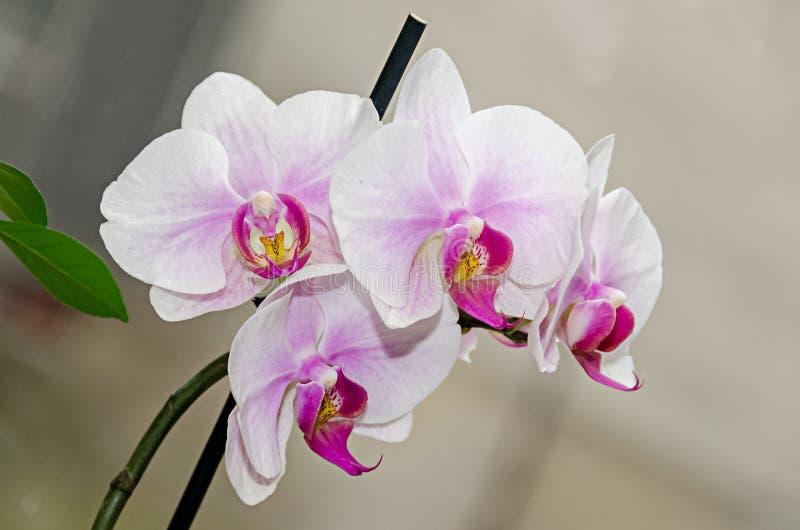 Τα άσπρα και μωβ phal λουλούδια κλάδων ορχιδεών, κλείνουν επάνω, υπόβαθρο παραθύρων στοκ φωτογραφία με δικαίωμα ελεύθερης χρήσης