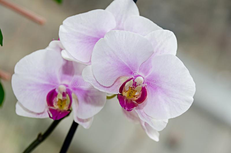 Τα άσπρα και μωβ phal λουλούδια κλάδων ορχιδεών, κλείνουν επάνω, υπόβαθρο παραθύρων στοκ φωτογραφία