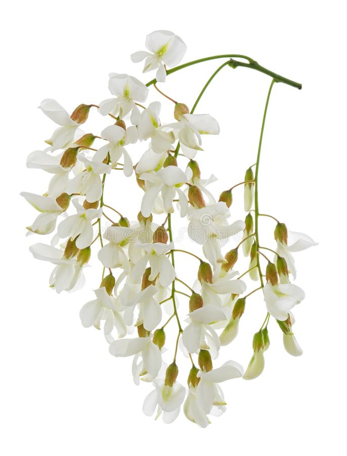 Τα άσπρα λουλούδια ακακιών άνοιξη βουρτσίζουν στο άνθος που απομονώνε στοκ εικόνες με δικαίωμα ελεύθερης χρήσης