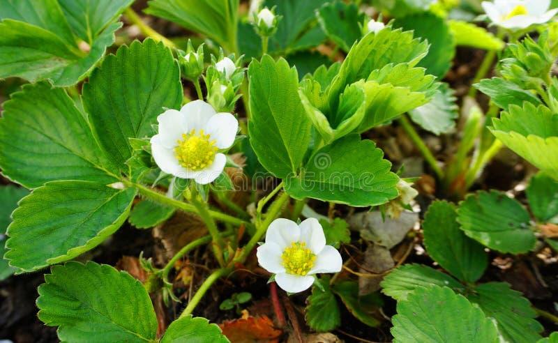 Τα άσπρα λουλούδια φραουλών με τα πράσινα φύλλα κλείνουν επάνω στο εδαφολογικό υπόβαθρο στοκ φωτογραφίες με δικαίωμα ελεύθερης χρήσης