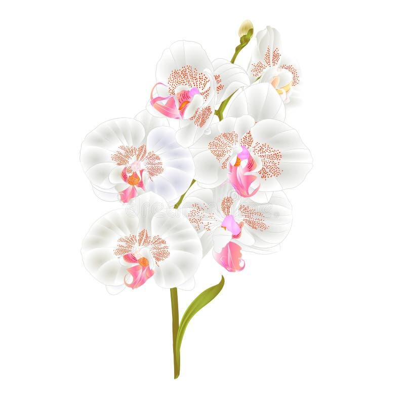 Τα άσπρα λουλούδια Phalaenopsis ορχιδεών κλάδων και τα τροπικά φυτά φύλλων προέρχονται και οφθαλμοί σε ένα άσπρο υπόβαθρο εκλεκτή απεικόνιση αποθεμάτων