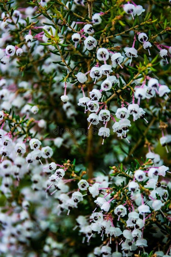Τα άσπρα μαύρα μικρά λουλούδια άνθισης χιλιάδων εκατοντάδων φυτεύουν με θάμνους μαζί στοκ φωτογραφία με δικαίωμα ελεύθερης χρήσης