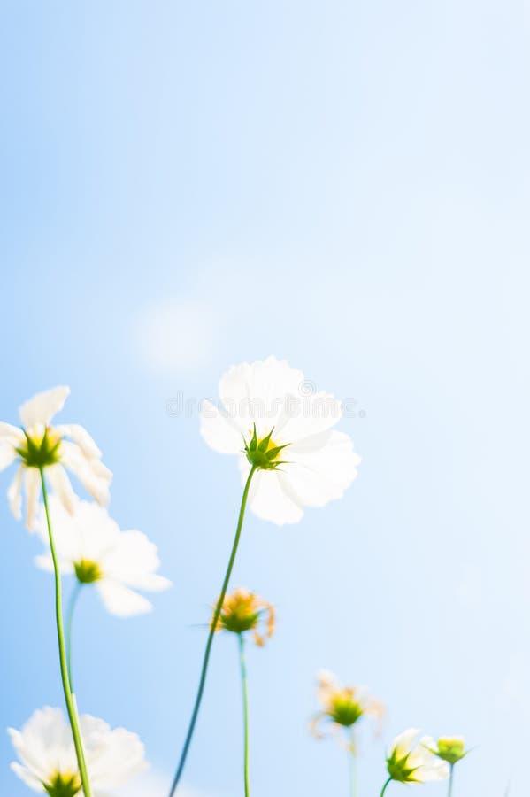 Τα άσπρα λουλούδια κόσμου στον κήπο με τον ουρανό καλύπτουν το μαλακό υπόβαθρο θαμπάδων στο αναδρομικό εκλεκτής ποιότητας ύφος κρ στοκ εικόνα με δικαίωμα ελεύθερης χρήσης