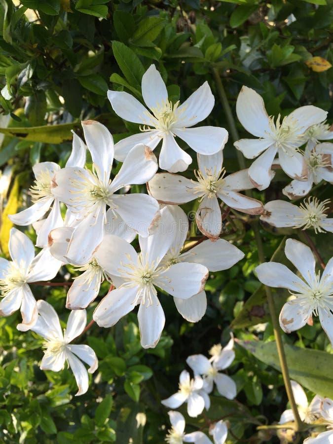Τα άσπρα λουλούδια κλείνουν στοκ εικόνα με δικαίωμα ελεύθερης χρήσης