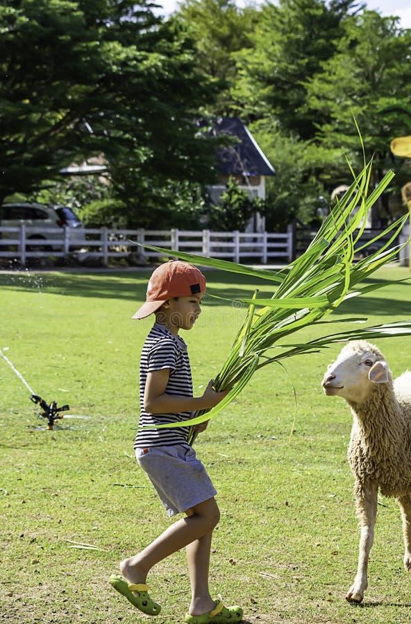 Τα άσπρα πρόβατα τρώνε τη χλόη στα χέρια των ασιατικών αγοριών στοκ φωτογραφίες με δικαίωμα ελεύθερης χρήσης
