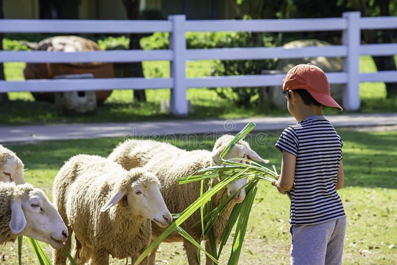 Τα άσπρα πρόβατα τρώνε τη χλόη στα χέρια των ασιατικών αγοριών στοκ εικόνες