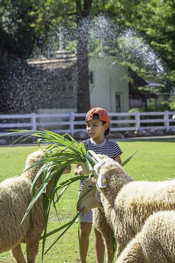 Τα άσπρα πρόβατα τρώνε τη χλόη στα χέρια των ασιατικών αγοριών στοκ εικόνα