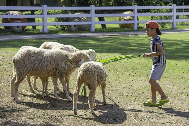 Τα άσπρα πρόβατα τρώνε τη χλόη στα χέρια των ασιατικών αγοριών στοκ φωτογραφία με δικαίωμα ελεύθερης χρήσης