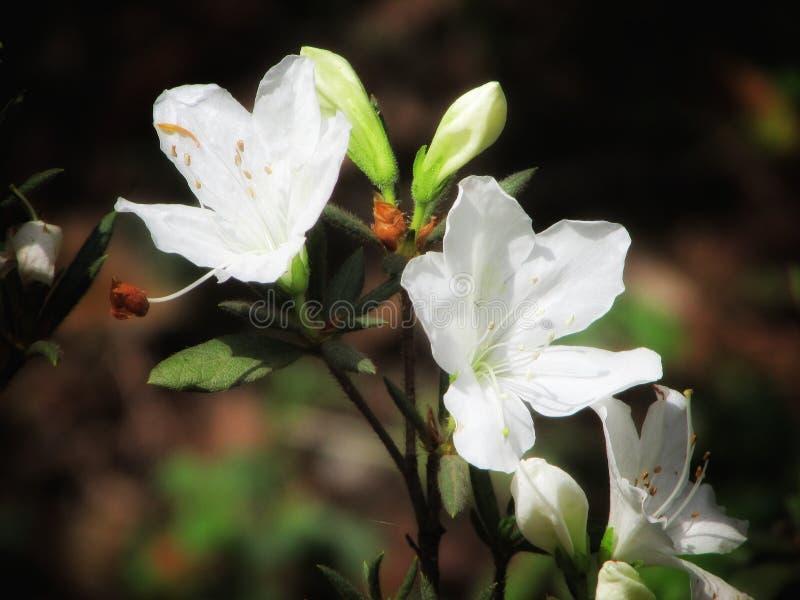 Τα άσπρα όμορφα λουλούδια στο μίσχο κλείνουν επάνω στοκ εικόνες με δικαίωμα ελεύθερης χρήσης