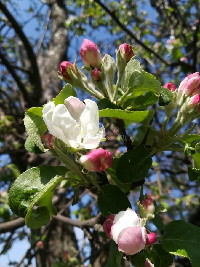 Τα άσπροι λουλούδια και οι οφθαλμοί του κήπου δέντρων μηλιάς αναπηδούν άνθισης όμορφη υπαίθρια ηλιόλουστη ημέρα ανθών φύσης την υ στοκ εικόνες
