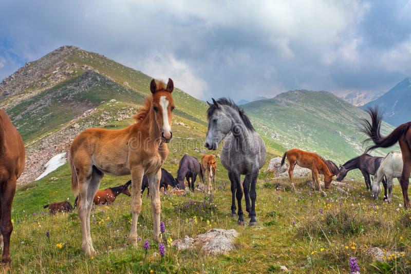 Τα άλογα στα βουνά στο Θιβέτ στοκ εικόνες με δικαίωμα ελεύθερης χρήσης