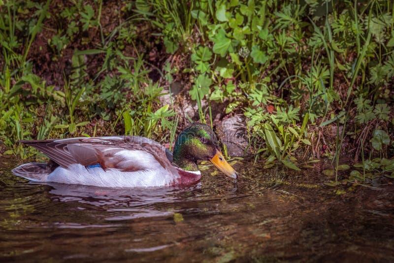 Τα αγριόχηνα κολυμπούν στη λίμνη στα αποδημητικά πτηνά νερού στο πάρκο στοκ φωτογραφίες