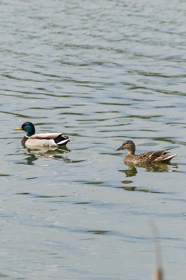 Τα αγριόχηνα κολυμπούν στη λίμνη στοκ εικόνες με δικαίωμα ελεύθερης χρήσης