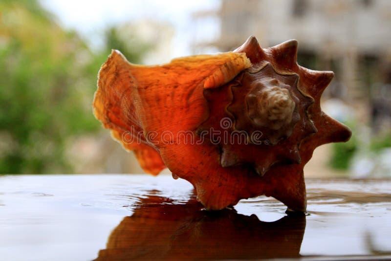 Τα απόμερα κοχύλια Conch στέκονται μόνο στοκ φωτογραφία με δικαίωμα ελεύθερης χρήσης