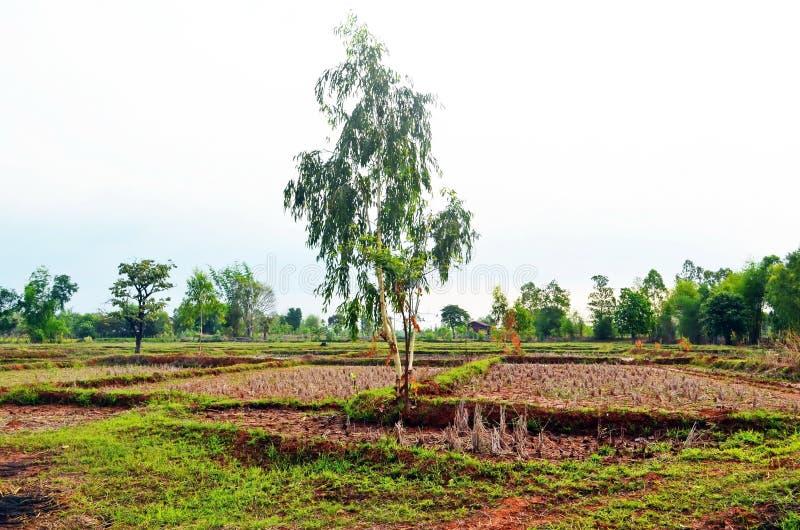 Τα αραιά δέντρα που παρέχουν λίγη σκιά είναι διεσπαρμένα σε όλους τους τομείς ρυζιού στην αγροτική επαρχία Sakon Nakhon στη βόρει στοκ φωτογραφία με δικαίωμα ελεύθερης χρήσης