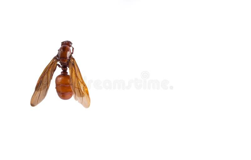 Τα αρσενικά υπόγεια μυρμήγκια στο άσπρο υπόβαθρο στοκ εικόνες