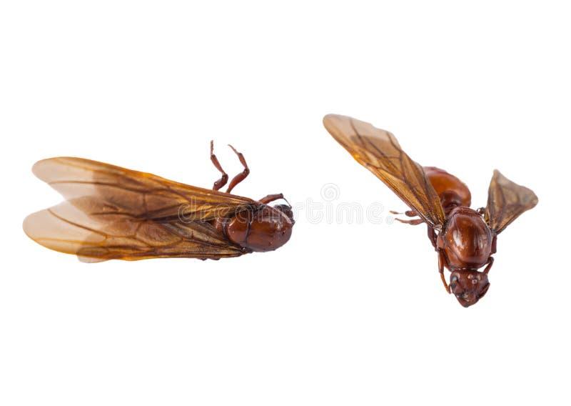 Τα αρσενικά υπόγεια μυρμήγκια στο άσπρο υπόβαθρο στοκ εικόνες με δικαίωμα ελεύθερης χρήσης