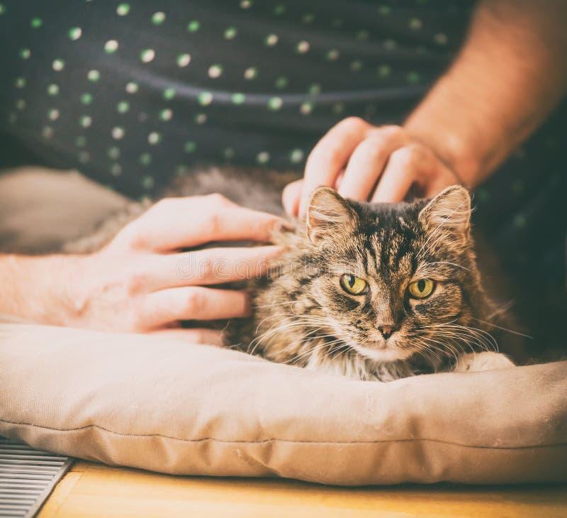 Τα αρσενικά χέρια βάζουν τη γούνινη γκρίζα γάτα, άνετο σπίτι στοκ εικόνα
