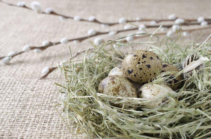 Τα αυγά ορτυκιών στη φωλιά με τον κλάδο ιτιών, κλείνουν επάνω στοκ εικόνες με δικαίωμα ελεύθερης χρήσης