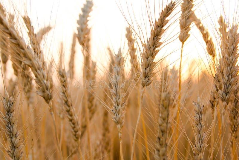Τα αυτιά του χρυσού σίτου στον τομέα κλείνουν επάνω Όμορφο τοπίο ηλιοβασιλέματος φύσης Αγροτικό τοπίο κάτω από να λάμψει το φως τ στοκ εικόνες