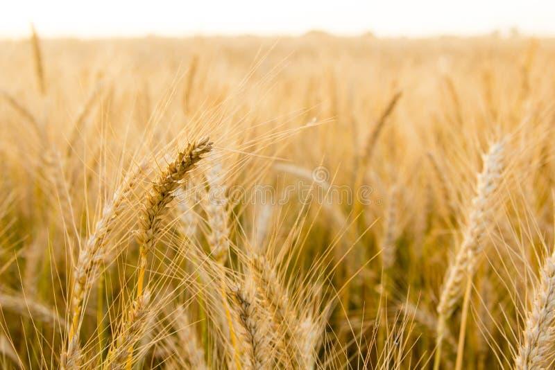 Τα αυτιά του χρυσού σίτου στον τομέα κλείνουν επάνω Όμορφο τοπίο ηλιοβασιλέματος φύσης Αγροτικό τοπίο κάτω από να λάμψει το φως τ στοκ εικόνες με δικαίωμα ελεύθερης χρήσης