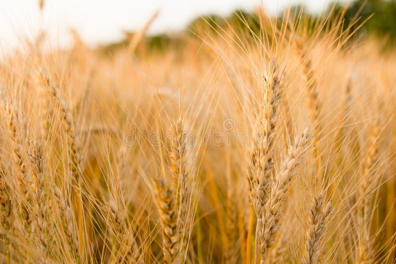 Τα αυτιά του χρυσού σίτου στον τομέα κλείνουν επάνω Όμορφο τοπίο ηλιοβασιλέματος φύσης Αγροτικό τοπίο κάτω από να λάμψει το φως τ στοκ φωτογραφία με δικαίωμα ελεύθερης χρήσης