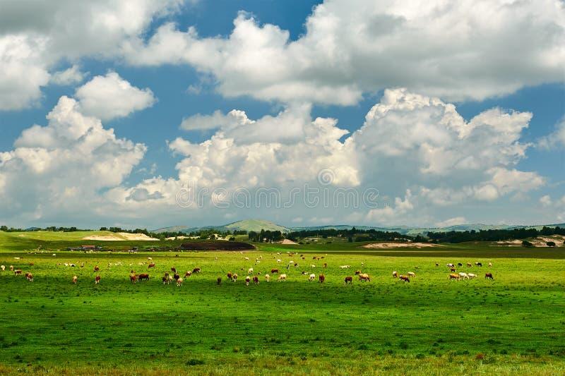 Τα βοοειδή και τα σύννεφα στοκ εικόνες