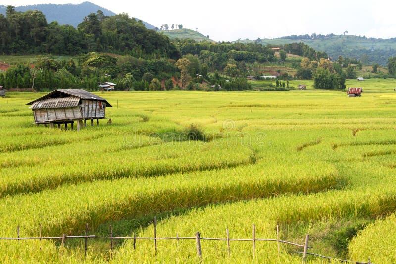 Τα γήπεδα ρυζιού που προορίζονται για συγκομιδή στοκ εικόνες