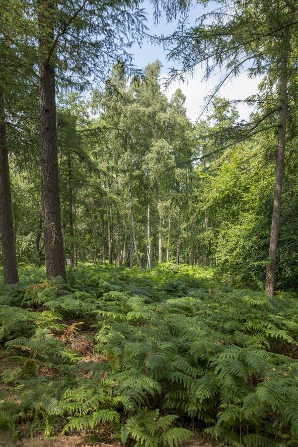 Τα γερμανικά δένουν το δασικό τοπίο με τη φτέρη, τη χλόη και τα αποβαλλόμενα δέντρα το καλοκαίρι στοκ εικόνα