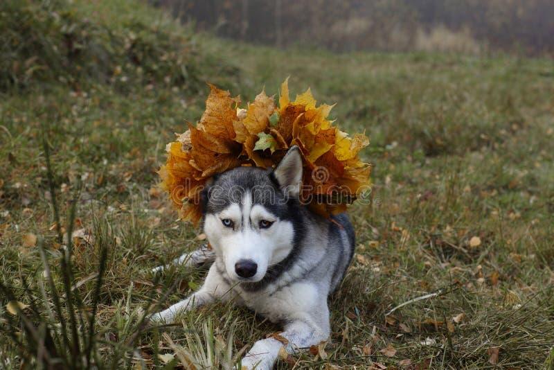 Τα γεροδεμένα ψέματα φυλής σκυλιών στο λιβάδι με ένα στεφάνι των φύλλων σφενδάμου φθινοπώρου στο κεφάλι και τα βλέμματά του μπροσ στοκ φωτογραφία με δικαίωμα ελεύθερης χρήσης