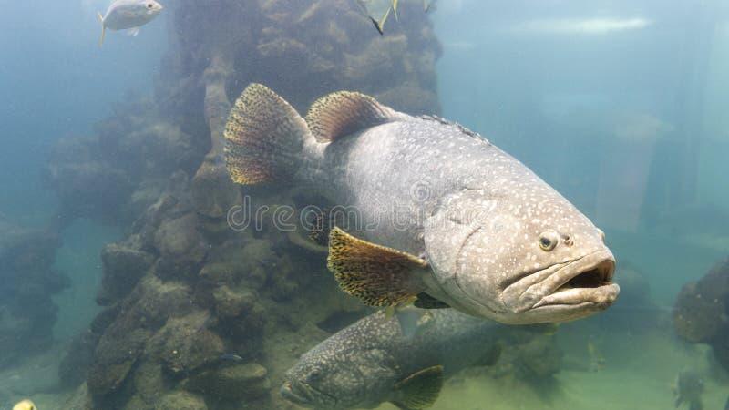 Τα γιγαντιαία grouper ψάρια στο ενυδρείο στοκ φωτογραφία με δικαίωμα ελεύθερης χρήσης