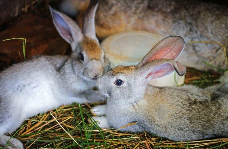 Τα γκρίζα κουνέλια εγκλωβίζονται στοκ εικόνες με δικαίωμα ελεύθερης χρήσης