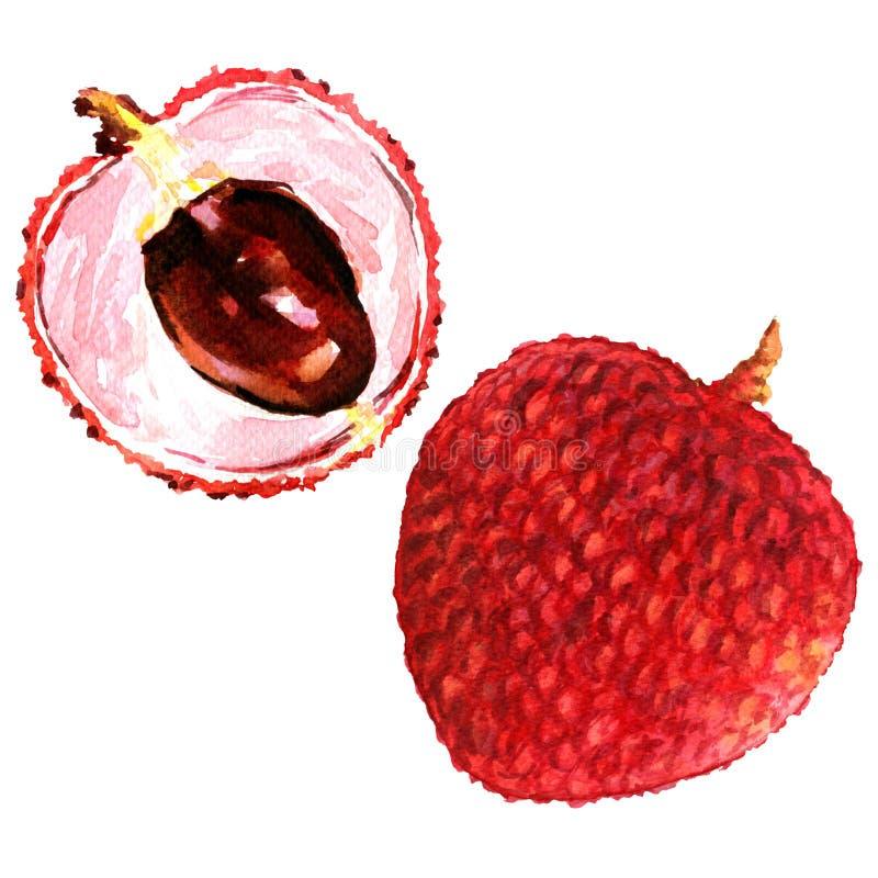 Τα γλυκά φρέσκα lychees φρούτα κλείνουν επάνω απομονωμένος, απεικόνιση watercolor διανυσματική απεικόνιση