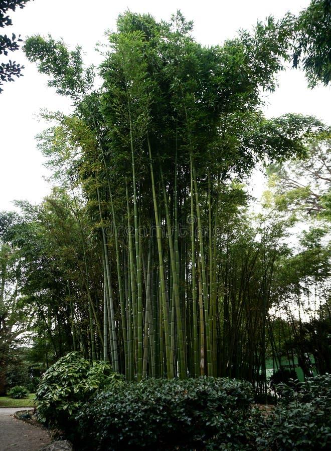 Τα δέντρα μπαμπού με τους κλάδους στο πάρκο, βλέπουν επάνω στοκ εικόνες με δικαίωμα ελεύθερης χρήσης