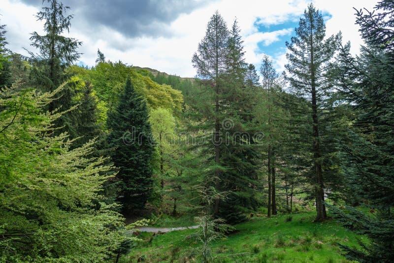 Τα δέντρα πεύκων κάτω από Loughrigg έπεσαν στοκ εικόνες