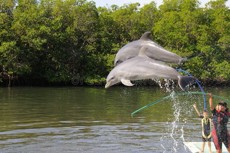 Τα δελφίνια που πηδούν στο ενυδρείο Varadero εμφανίζουν στοκ εικόνα με δικαίωμα ελεύθερης χρήσης