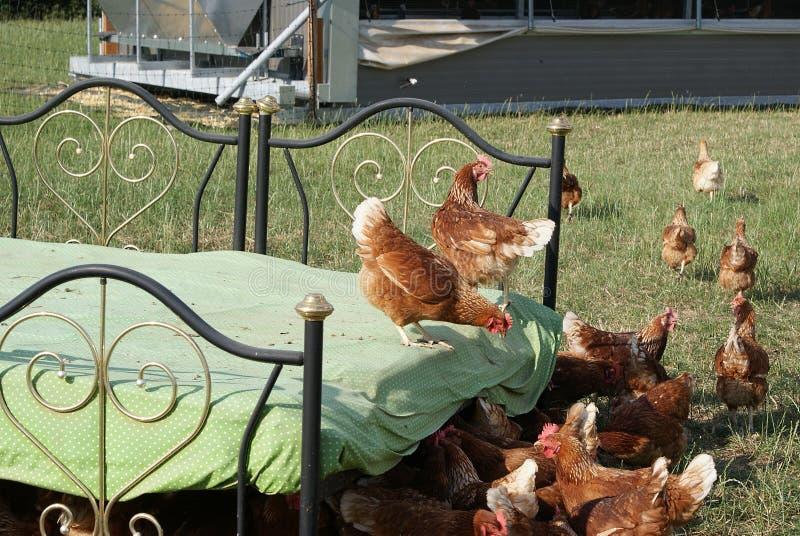 Τα δύο κοτόπουλα στο κακάρισμα κρεβατιών κοτόπουλου σε μια συνεδρίαση στοκ φωτογραφίες