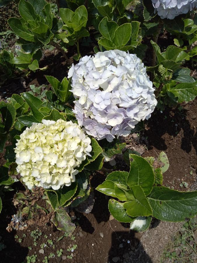Τα εκπληκτικά λουλούδια στην Ιάβα στοκ φωτογραφίες με δικαίωμα ελεύθερης χρήσης