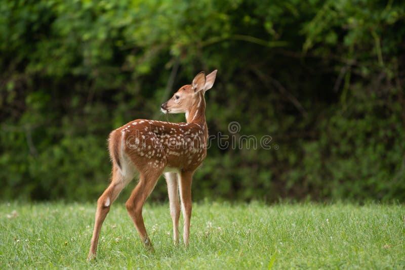 τα ελάφια fawn παρακολούθη&sigma στοκ φωτογραφία με δικαίωμα ελεύθερης χρήσης