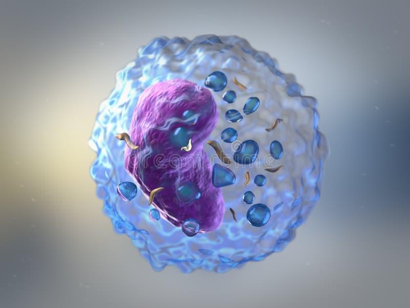 Τα λεμφοκύτταρα είναι λευκά κύτταρα αίματος ή λευκά αιμοσφαίρια στα ανθρώπινα IMM ελεύθερη απεικόνιση δικαιώματος