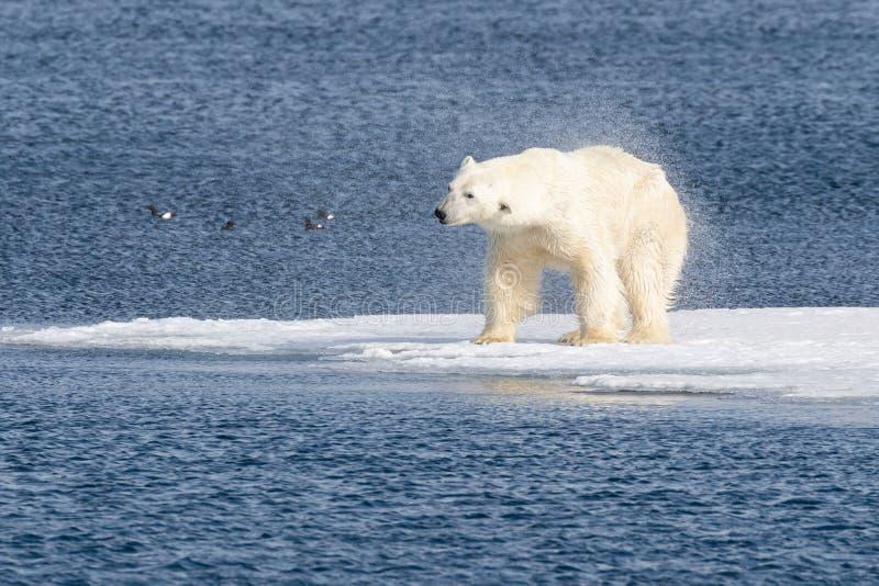 Τα ενήλικα αρσενικά κουνήματα πολικών αρκουδών του θαλάσσιου νερού μετά από κολυμπούν στοκ φωτογραφία