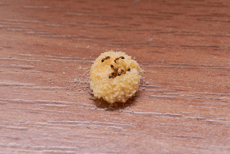 Τα εσωτερικά μυρμήγκια τρώνε το μαγειρευμένο δηλητήριο από το λέκιθο αυγών και το βορικό οξύ στοκ εικόνες με δικαίωμα ελεύθερης χρήσης