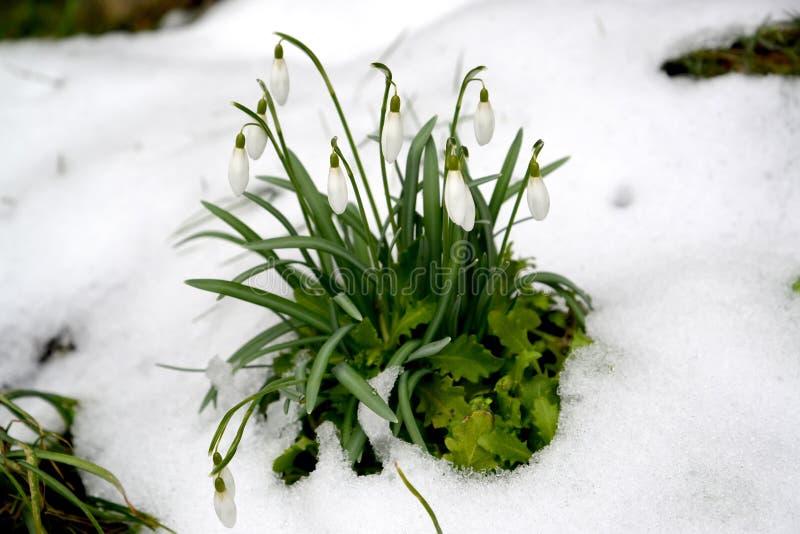 Τα λευκά σαν το χιόνι Galanthus nivalis Λ άνθησης snowdrop Την πρώιμη άνοιξη στοκ εικόνες
