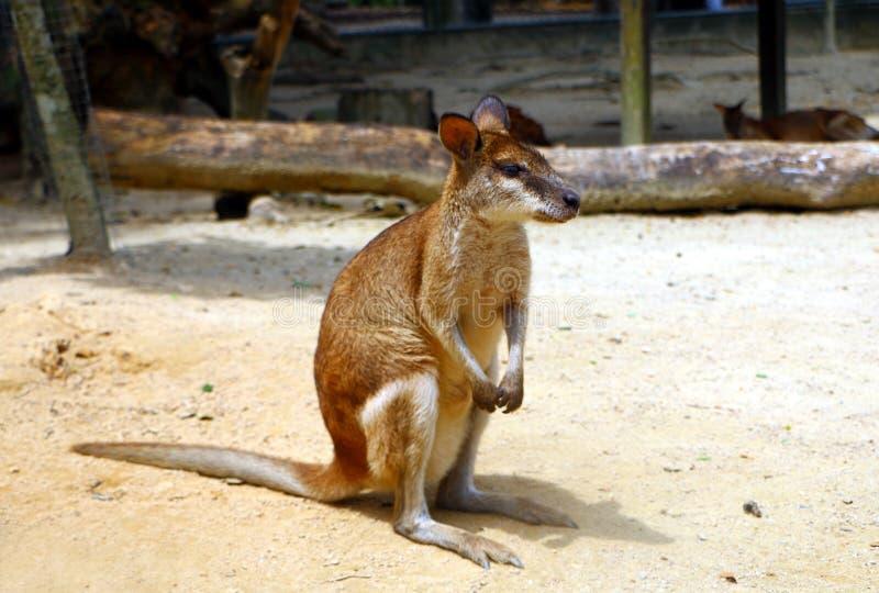 Τα ευκίνητα wallaby agilis Macropus γνωστά επίσης ως αμμώδης wallaby στοκ εικόνες
